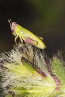 liten grön gräshoppa foto