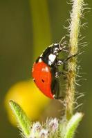 vacker nyckelpiga insekt foto