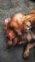 pomeranian blandad hund 3 foto