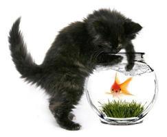rädd guldfisk som snart ska ätas foto