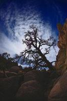 dramatiskt träd i Joshua Tree National Park foto