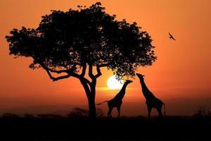 stora sydafrikanska giraffer vid solnedgången i afrika foto