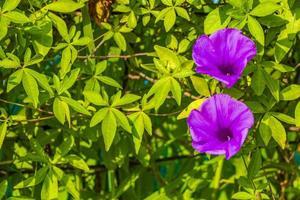 mexikansk rosa morgonljusblomma på staket med gröna blad foto