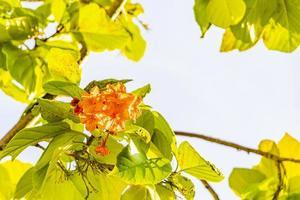 kou cordia subcordata blommande träd med gröna blad i mexico foto
