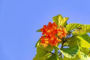kou cordia subcordata blommande träd med blå himmel i mexico foto