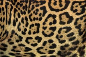 färgglad mönstrad jaguarhud för bakgrunden. foto