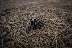 torkad ananas i skogen foto