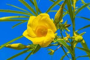 gul oleanderblomma på träd med blå himmel i mexico. foto