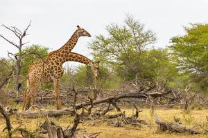 vackra majestätiska par giraffer kruger nationalpark safari Sydafrika. foto