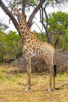 vacker lång majestätisk giraff kruger nationalpark safari Sydafrika. foto