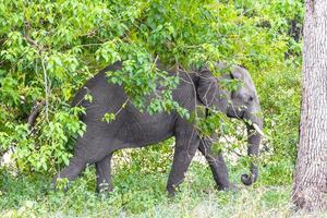 stora fem afrikanska elefantkruger nationalpark safari Sydafrika. foto