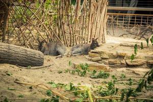 rödhalsad wallaby i djurparken foto