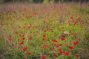 fält av röda anemoner foto