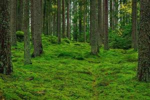 vacker tall- och granskog med grön mossa på skogsgolvet foto
