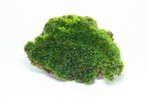 en grön mossa isolerad på vit bakgrund. de föddes på en stenig utgrävning mitt i en tropisk regnskog. foto