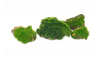 grön mossa isolerad på vit bakgrund. de föddes på en stenig utgrävning mitt i en tropisk regnskog. gruppdesign foto
