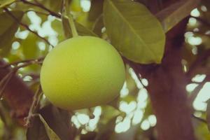 pomelo frukt på trädet i trädgården foto