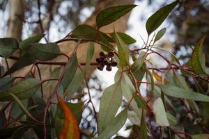 närbild på eukalyptusgren med blomknoppar foto