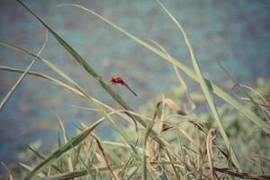röd trollslända som vilar på ett blad foto