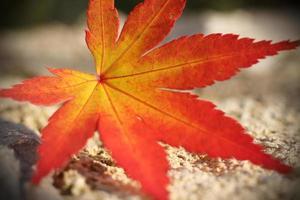 lönnlöv på hösten foto