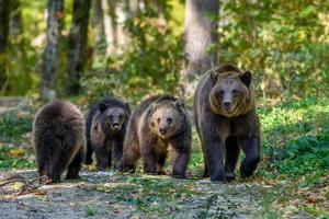 tre vilda bruna björnungar med mamma i höstskogen. djur i naturlig livsmiljö foto
