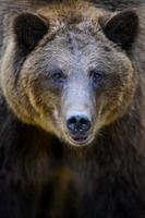 porträtt vildbrun björn i höstskogen. djur i naturlig livsmiljö. vilda djurliv foto