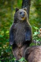 babyunge vild brunbjörn står på träd i höstskogen. djur i naturlig livsmiljö foto