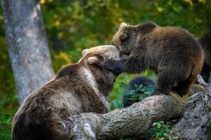 bebisunge vildbrun björn i höstskogen. djur i naturlig livsmiljö foto