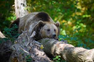 vildbrun björn sover i höstskogen. djur i naturlig livsmiljö foto