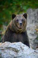 vildbrun björn i höstskogen. djur i naturlig livsmiljö foto