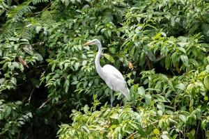stora egret djur foto