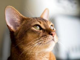 renrasig abyssinsk katt foto