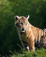 tigerunge foto