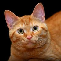 ingefära katt foto