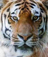 vilda tiger ansikte foto