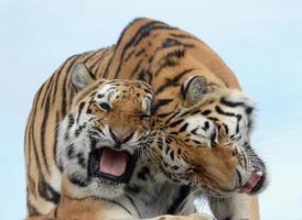 glada tigrar foto