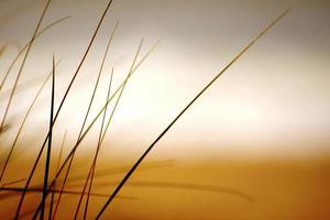 strandgräs foto