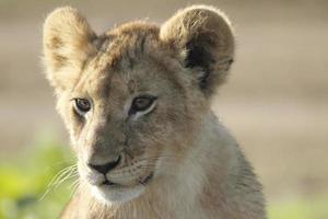 afrikansk lejonunga foto