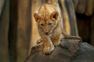 litet lejon foto