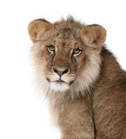 lejon, 9 månader gammal, framför en vit bakgrund foto