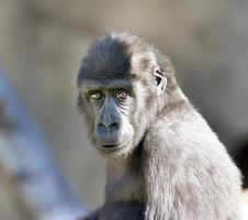 ett öga till ögon porträtt av en ung gorillahane. foto