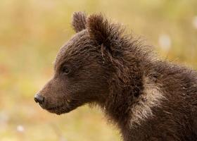 eurasian brown bear (ursos arctos) cub foto