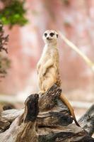 meerkat eller suricate. foto