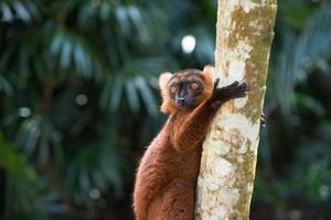 lemur av madagaskar foto