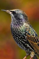 starling (sturnus vulgaris) foto