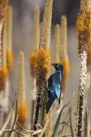 aloe blommor och glansigt starling i Kruger Park Sydafrika foto