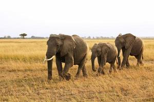 masai mara elefanter