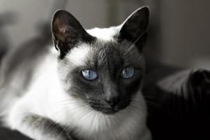 siamesisk katt med blå ögon foto