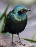 glansig starling fågel foto