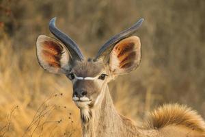 kvinnlig större kudu (tragelaphus strepsiceros) porträtt foto